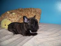 We have a little butterball piggy frenchie looking for
