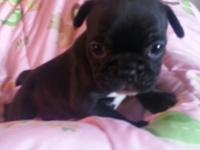 Beautiful French Bulldog puppy available to a loving