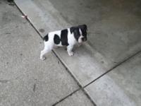 Animal Type: Dogs Breed: French Bulldog 9 week old AKC