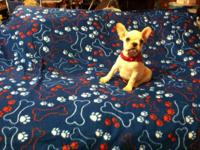 Beautiful male french bulldog puppy. Very playful loves
