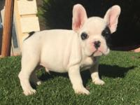 AKC French bulldog 7 weeks old, Male 2 shots of