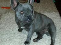 AKC French Bulldog dog. He is a blue with a white bib.