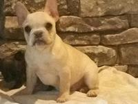 Very nice healthy cream male puppy. Akc registeration.