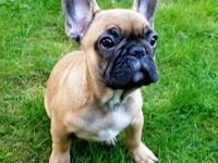 french bu Pets and Animals for sale in Washington - Puppy and kitten ...