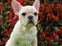 Zoey is a beautiful female French Bulldog puppy, now