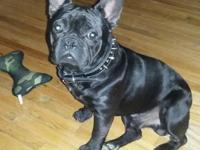 Midwest Finest Frenchies has pups available! One Blue
