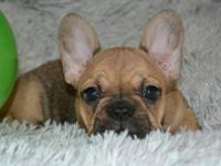 This beautiful fawn female Frenchie is now available