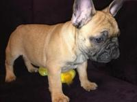 This beautiful fawn red male Frenchie is now available