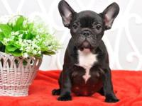 French Bulldog Puppy For Adoption Rescue