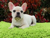 Cooper is a very precious male French Bulldog puppy,