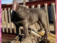 Blue berry is a gorgeous blue female, Carries blue and