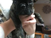 Gorgeous brindle female, will steal your heart from the