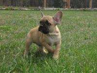 BEAUTIFUL FAWN MALE FRENCH BULLDOG PUPPY!!! GREAT