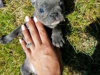 Blue frenchie!! She is adorable and getting cuter each