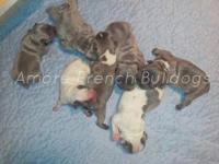 Akc quality blue and blue/tan French puppies. Short and