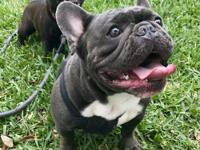 Blue brindle gorgeous male french bulldog with a