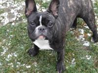 Cute and adorable Frenchie looking for a good home.