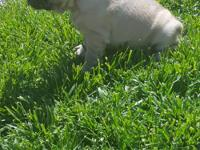 And French bulldog female up to date on shots full and