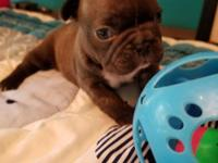 AKC chocolate French Bulldog female available. Limited