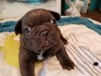 AKC chocolate French Bulldog male available. Limited