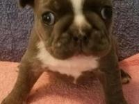 This blue brindle male French Bulldog is looking for a
