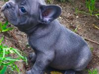 Our dogs are the high quality type french bulldogs,