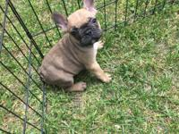 French bulldog 8wks Up to date on shots 2sets this