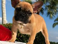 Amazing French Bulldog Puppy Microchip - Health