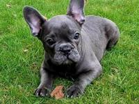blue french bulldog puppies for sale in Washington Classifieds & Buy ...