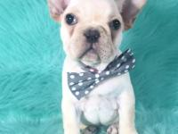 Handsome Frenchies available. They are up to date on