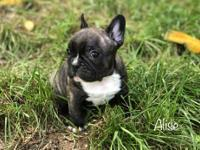 Maya is pure blood French Bulldog who loves to play