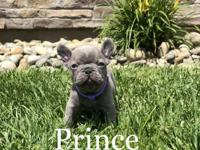 Hi, this is a male Lilac French Bulldog. His sire is