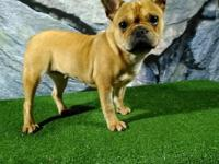 Meribele is a 2 year old French Bulldog that is ready