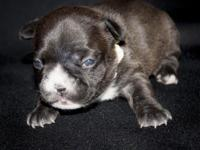 This is a beautiful dark brindle, almost seal colored