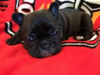 Super Sweet black brindle female available! Her brindle
