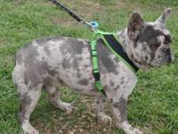This girl is a dark blue merle. She may also carry At