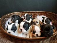 AKC Frenchie Male & Female Puppies Available! Born Jan.