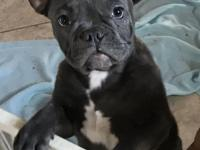 We have a blue fawn brindle male Frenchie available. He