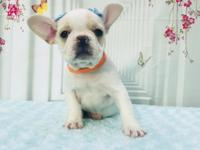 Amazing French Bulldog Female. LUNA is a playful French