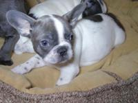 Great looking Blue Pied female available from very nice