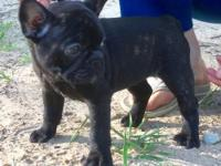 Pandemonium French bulldogs present SIGGY. Siggy is a