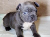 Great looking Solid Blue female available from very