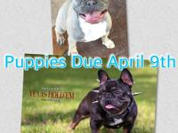 Call or txt  FEMALE Blue and tan french bulldog back up