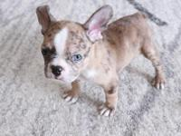 She is a 10 weeks old Merle French Bulldog. Merle is a