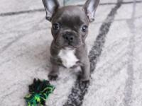 She is a 10 weeks old Blue French Bulldog. A petite