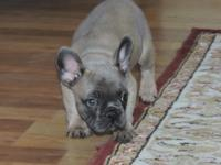 Blue Fawn Male French Bulldog. Patrick is a very