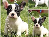 PUPPIES AVAILABLE NOW! Welcome to Blissful Bulldogs!