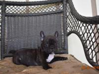 Nice chocolate brindle, will make a great family pet,