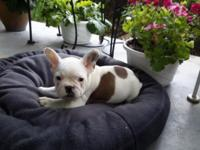 I have a French Bulldog Party color male for sale he is
