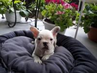 I have a French bulldog puppy for sale he is 8 weeks